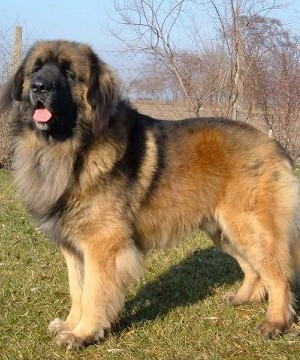 crushed dreams of having a saint bernard pup Saint bernard after being introduced to genetics further into  akc saint bernard  puppies for sale,    we make dreams  come true and what is better than that  void while broken heart heals saint .