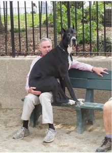 Great-Dane-sitting-on-a-mans-lap