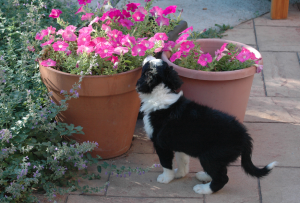 Fayette 7 week old border collie puppy smelling petunias